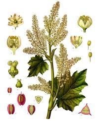 Rheum - Wikipedia