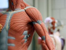 11 functions of <b>the muscular system</b>: Diagrams, facts, and structure