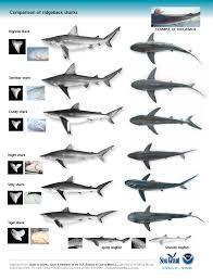 best ideas about types of sharks sharks shark 17 best ideas about types of sharks sharks shark and hammerhead shark