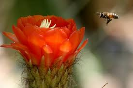 Image result for cactus bee