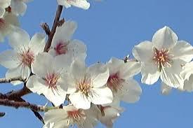 Amendoeira- flor