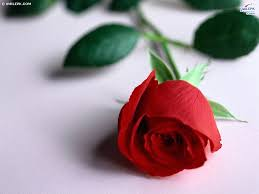 Flower Wallpapers  Images?q=tbn:ANd9GcRfhaJvp8ZMFUHx9c9sz5_24C-e-S0-MTTYk7hmf_JKJ4_JlHnK