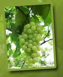 Mematikan sel kanker dengan mengkonsumsi buah anggur