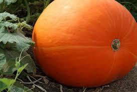 <b>pumpkin</b> | Description, Scientific Name, & Facts | Britannica