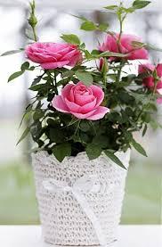 Image result for pink rose plants