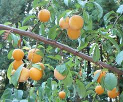 Image result for Yellow Plum