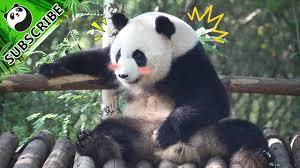 <b>Pandas love</b> showing off <b>love</b>! | iPanda