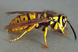 What a Yellow Jacket looks like