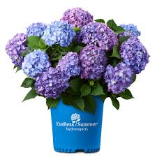 2 Gal. Bloom Struck Hydrangea Plant with <b>Pink and Purple</b> Flowers