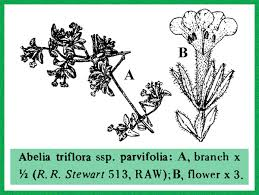 Caprifoliaceae in Flora of Pakistan @ efloras.org
