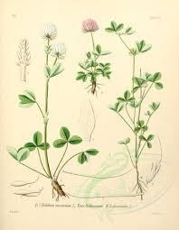 plants-17414 - trifolium montanum, trifolium glomeratum [2226x2866 ...