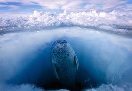 frozen treasure defending the arctic earthjustice a ringed seal is on the lookout for polar bears as it surfaces