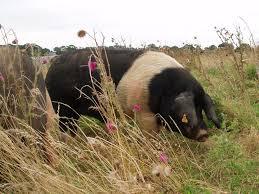 Essex pig