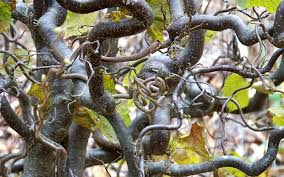 Image result for contorted hazel