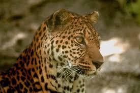 الفهود أكثر الحيوانات شراسة ورشاقة. Images?q=tbn:ANd9GcRgxC9amA-awSd2VCXm--G2NdunuziymBkza7662tS7BNmqg8xB