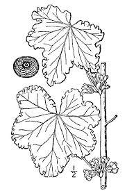 Malva verticillata - Wikipedia