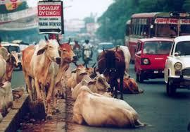 「印度牛」的圖片搜尋結果