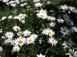 Leucanthemum - Wikipedia