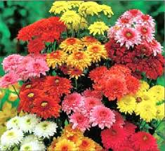 Chrysanthemum - Tips, Gardening, Pictures, Care, Meaning ...