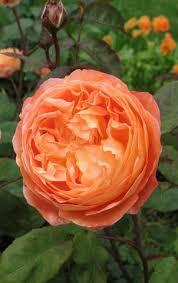Саженцы роз,парковые розы,кустовые розы,зимостойкие розы ...