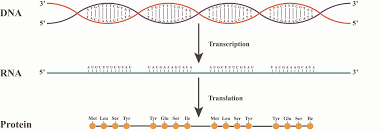 from dna to rna to protein how does it work the synthesis of rna from dna is called transcription the dna is transcribed into rna in this figure the rna is being synthesized from the red strand of