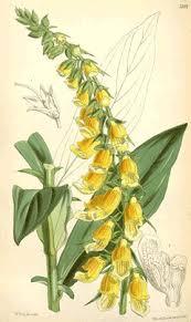 Digitalis laevigata PFAF Plant Database