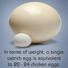Image result for The largest bird egg: Ostrich Struthio camelus