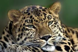 About the Amur <b>leopard</b> | Russian Geographical Society