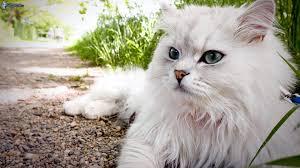 Bildergebnis für weiße katzen