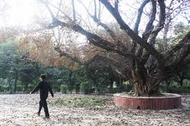 city nature the majestic pilkhan tree deer park the delhi walla city nature the majestic pilkhan tree deer park