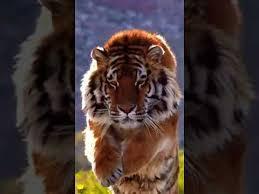 <b>Tiger 3D</b>