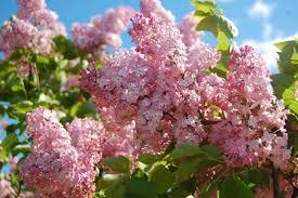 Imagini pentru imagini cu flori de liliac