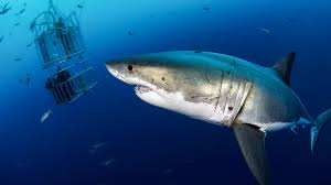 shark attacks is it safe to go back in the water science aaas rate of great white shark attacks drops dramatically over the last half century
