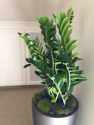 enchanting indoor plant design with gray round pot along very glossy succulent leaves and stems on amazing office plants