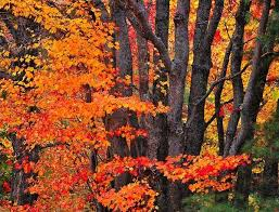 Image result for maple trees pictures