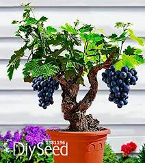 <b>New Arrival</b>!Miniature Grape Vine Seeds, PATIO SYRAH, Vitis ...