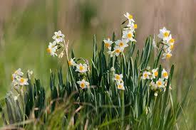 Narcissus tazetta L. subsp. tazetta