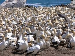 Image result for gulls, terns, albatrosses, petrels, shearwaters (muttonbirds), cormorants, gannets and boobies.