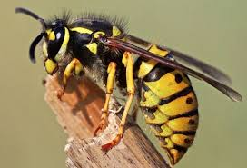 Image result for common wasps uk