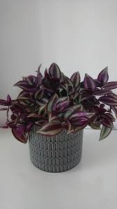 Wandering Jew Plant / Inch Plant (Tradescantia zebrina / Zebrina ...