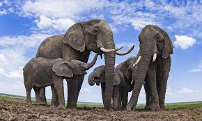 What's the difference between Asian and <b>African</b> elephants? And 8 ...