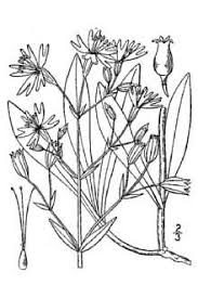 Plants Profile for Silene nutans (Eurasian catchfly)