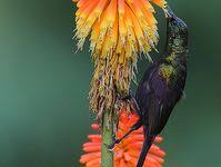 79 Best Sunbird & <b>Flowers</b> images | <b>Flowers</b>, <b>Beautiful birds</b>, <b>Birds</b>