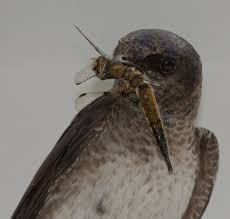Image result for birds eating mosquitoes