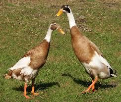 Indian Runner duck - Wikipedia