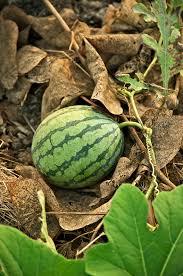 <b>Watermelon</b> - Wikipedia