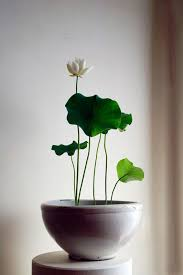 lotus plants and indoor on pinterest charming office plants