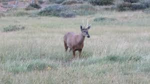 South Andean deer