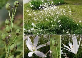 Anthericum liliago L. - Sistema informativo sulla flora vascolare dei ...
