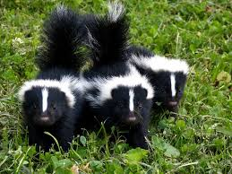 Image result for baby skunk pictures